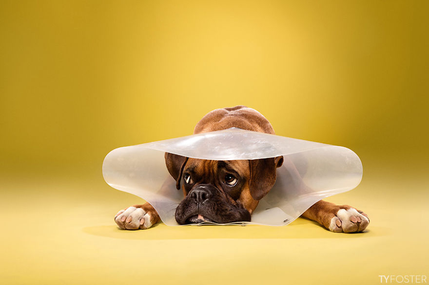i photograph dogs wearing cones of shame bored panda
