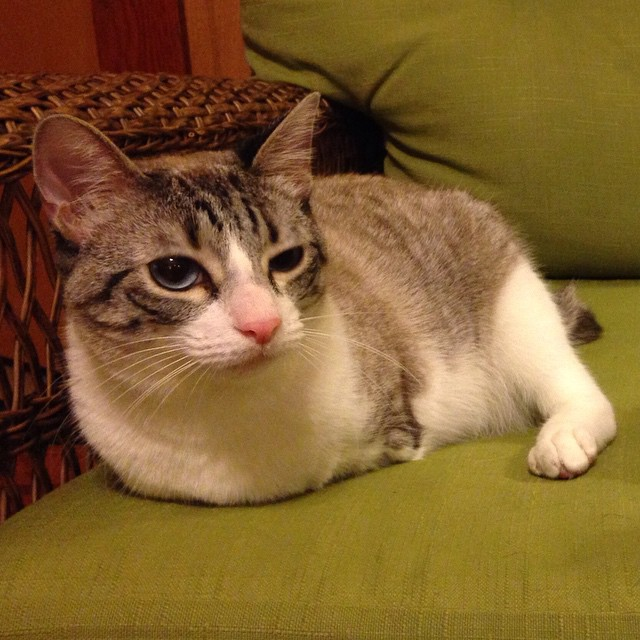 adopted-cat-hops-two-legs-instagram-celebrity-roux-14