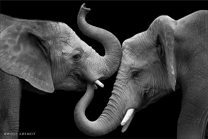 Elephant Love: Photographer Shows The Emotional Side Of Giants