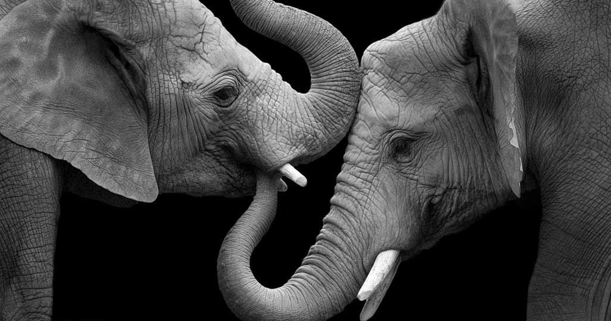 Elephant love photographer shows the emotional side of - Black and white love pictures ...