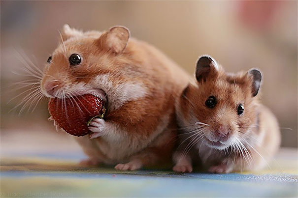 Hamster Eating Strawberry