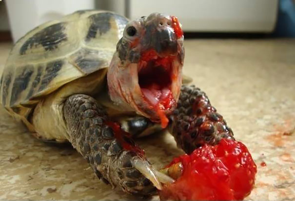 Turtle Eating Strawberry