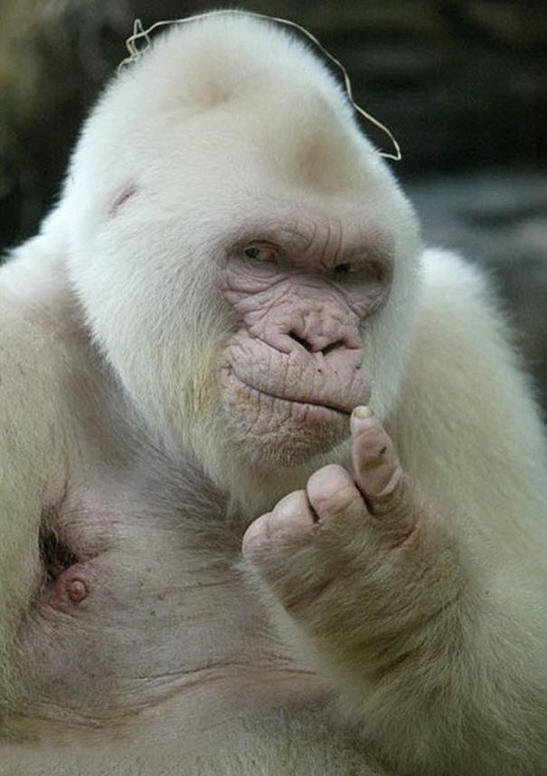 Seductive Albino Gorilla