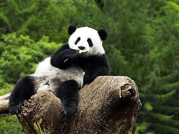 Panda Posing For The Camera