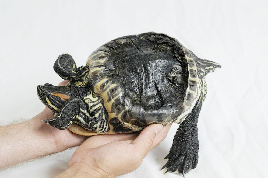 audrey-rescued-turtle-little-resq (10)