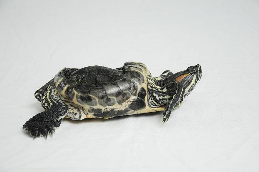 audrey-rescued-turtle-little-resq (11)