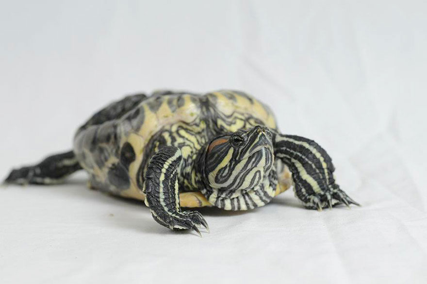 audrey-rescued-turtle-little-resq (2)