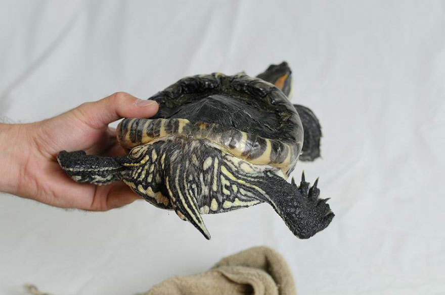 audrey-rescued-turtle-little-resq (4)