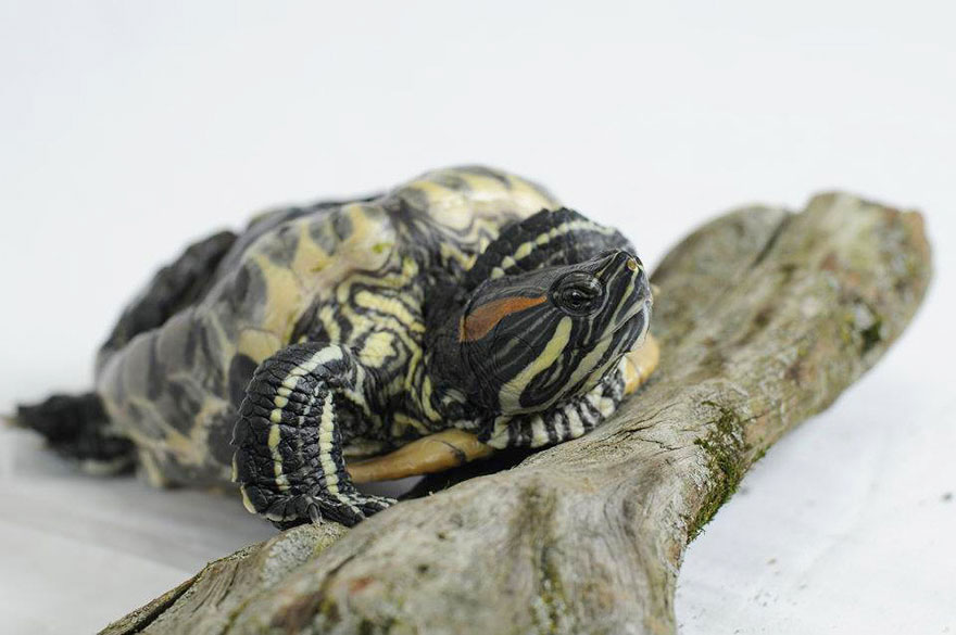 audrey-rescued-turtle-little-resq (5)