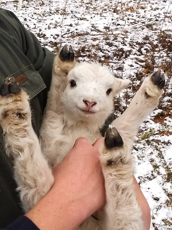 Baby Lamb Belly Rub