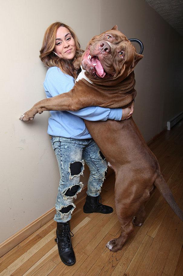 Hulk, At 173 Lbs, Might Be The World's Biggest Pitbull
