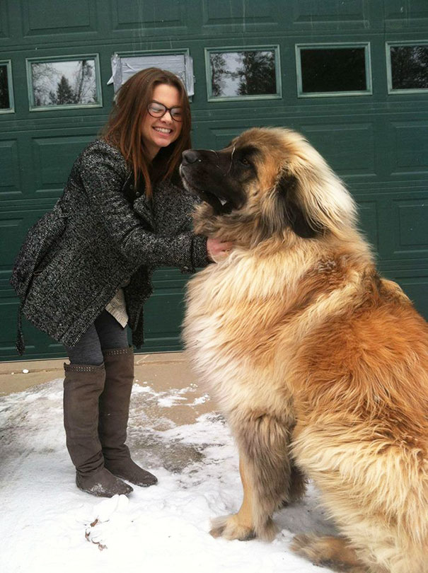 Does Everyone Want To Have A Huge Dog Like This One?