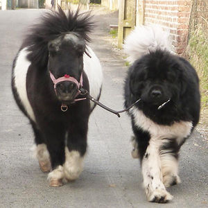 Big Dog And Small Pony