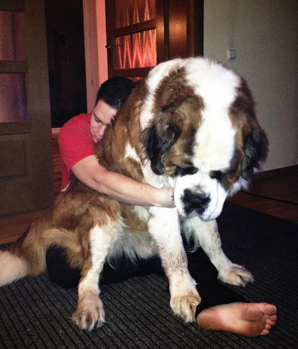 Just Another Picture Of A Friends Giant Dog. Seriously, Giant