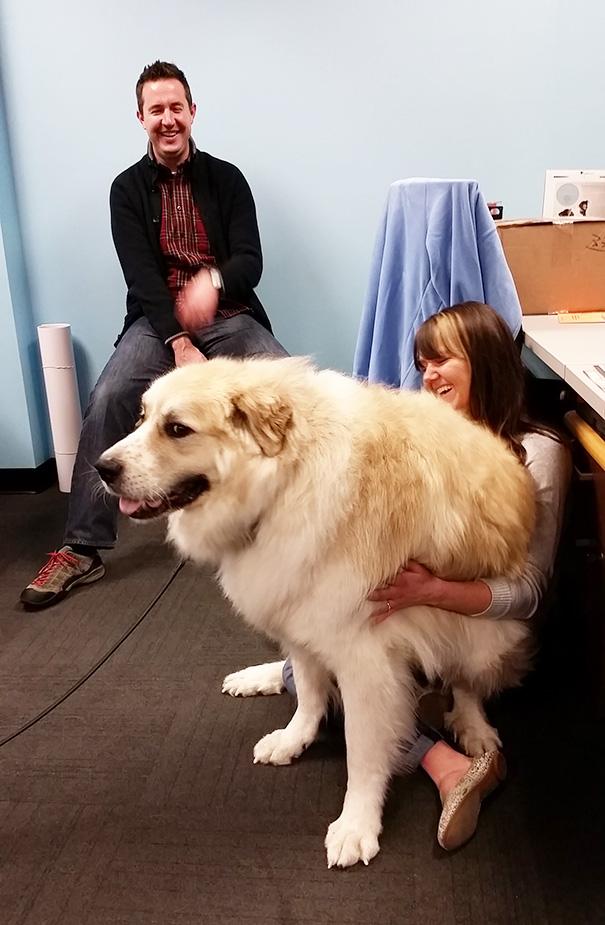 Meet Bailey, Our 130 Pound Lap Dog