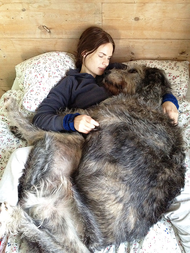 The Irish Wolfhoud, A Perfect Bed Buddy