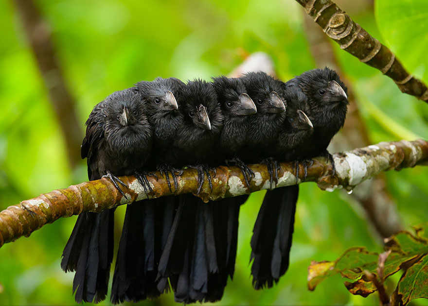 Group Of Smooth Billed Anis Huddle Together For Warmth In The Early Morning Breeze