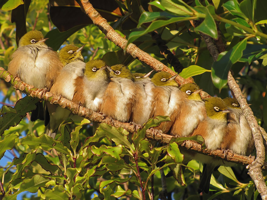 Silvereyes Huddling For Warmth In Winter