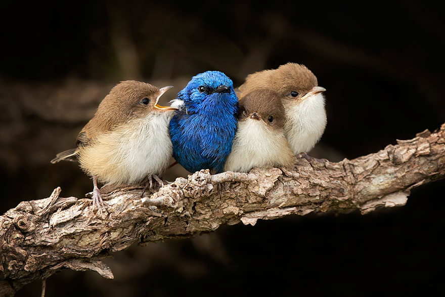White-winged Fairy-wren Family. Dad (blue) With Three Chicks