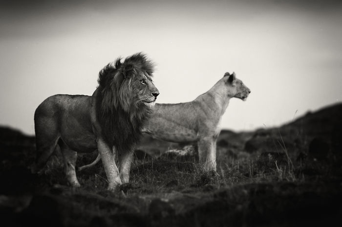 Portraits From A Kingdom: I Photograph Lions To Convey Their Magical Qualities