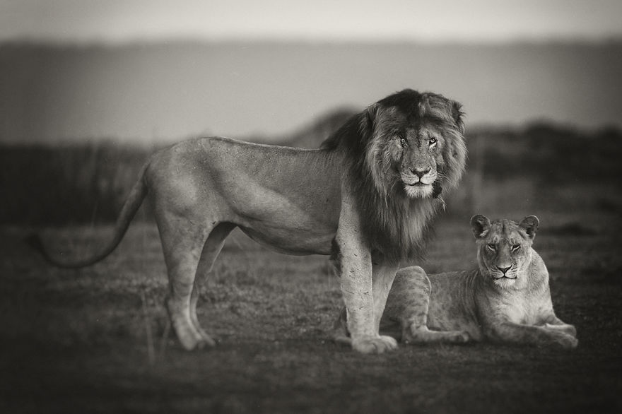 portraits from a kingdom i photograph lions to convey their magical