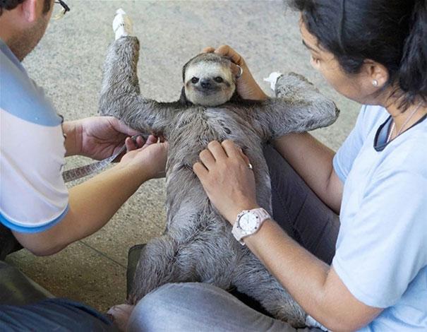 Sloth Getting A Belly Rub Like A Boss