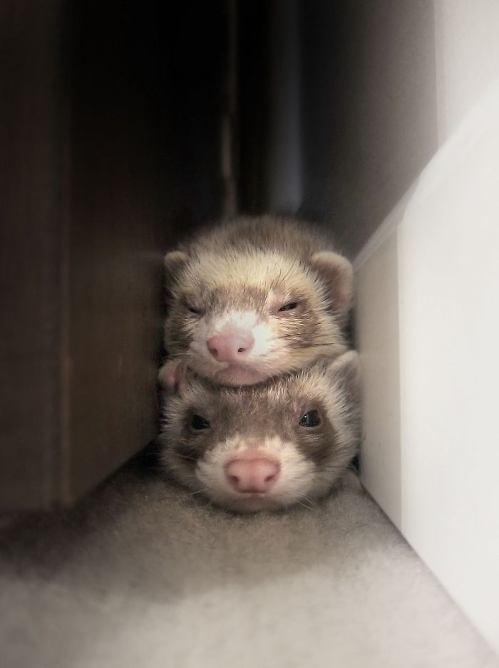 42 Funny Ferrets That Just Want To Play With You