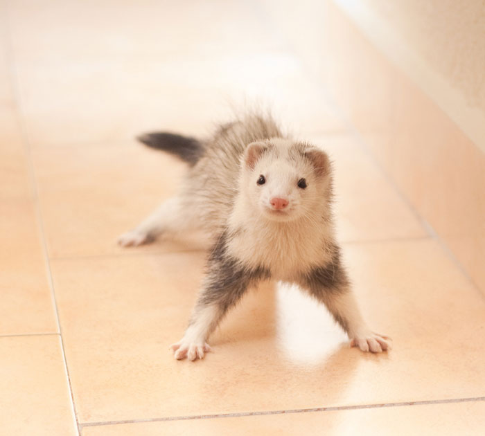 42 Funny Ferrets That Just Want To Play With You Bored Panda