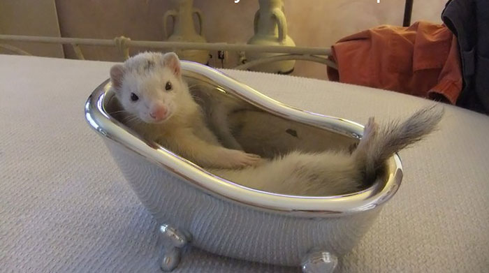 Luxury Ferret