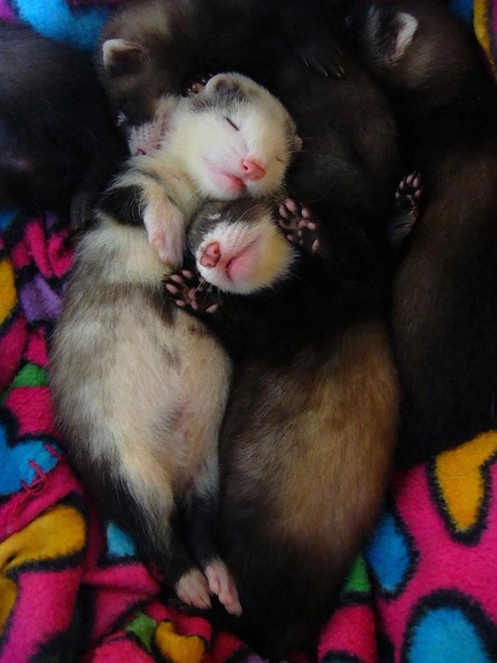 Sleeping Baby Ferrets