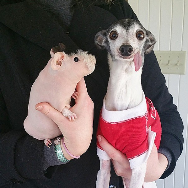 http://static.boredpanda.com/blog/wp-content/uploads/2015/05/derpy-dog-greyhound-sticking-tongue-zappa-61-605x605.jpg