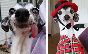 Meet Zappa, The Sid Lookalike Dog With A Floppy Tongue