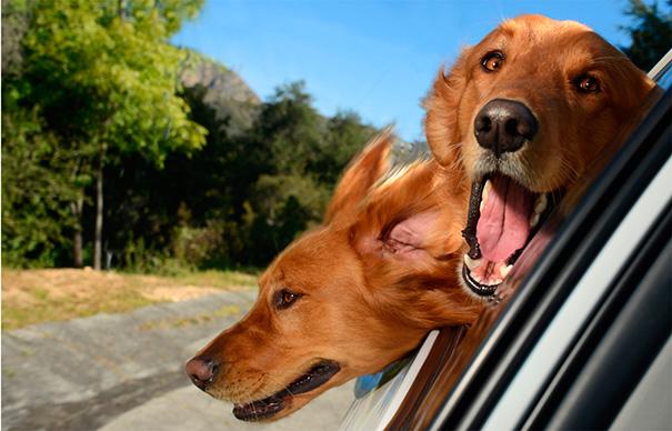 Dogs Enjoying A Ride