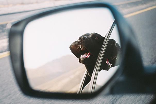 My Labrador Retriever During A Car Ride