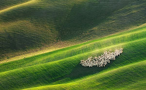 Sheep In Tuscan Fields In Italy