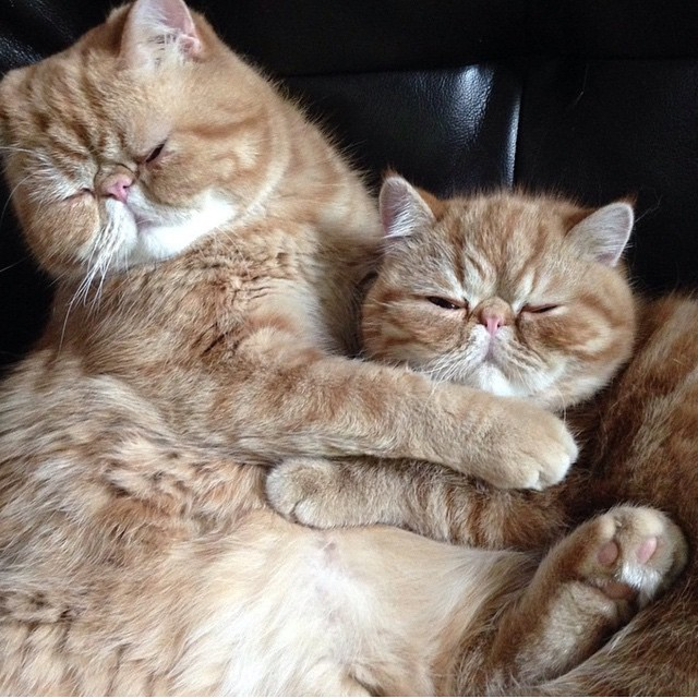 funny-cats-making-out-angus-seamus-exotic-shorthaired-persian-brothers-9