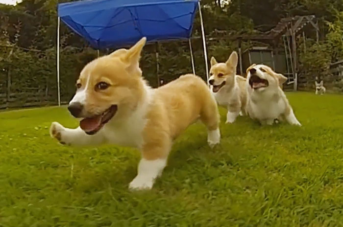 Corgi Puppies Running In Slow-Mo Will Make Your Day