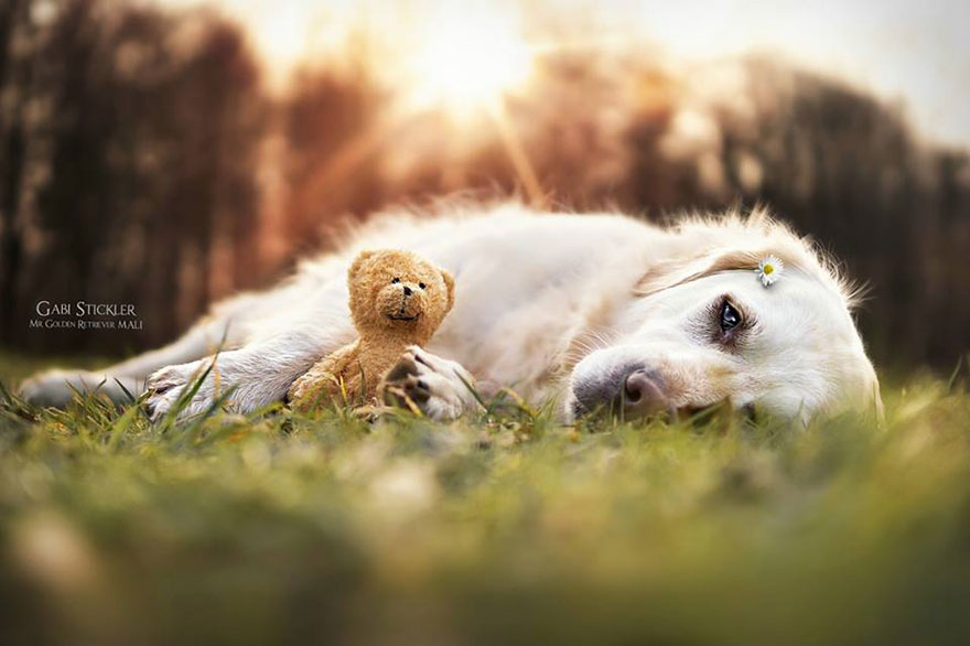 golden-retriever-mali-teddy-bear-gabi-stickler-5