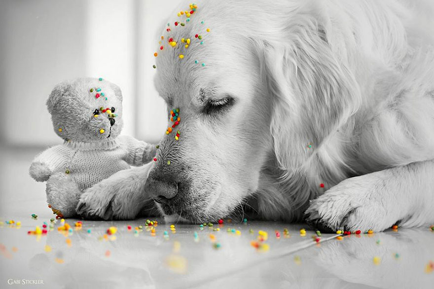 golden-retriever-mali-teddy-bear-gabi-stickler-6