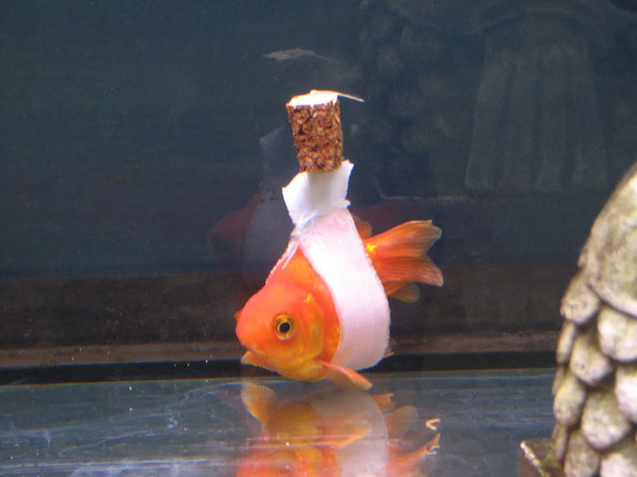 goldfish-wheelchair-cork-sling-float-coverimage