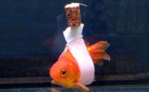 Goldfish Owner Makes A Cork 'Wheelchair' To Help His Sick Fish Swim Upright