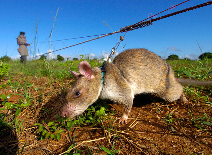 Heroic Rats Sniff Out Landmines In Africa, Could Save 1,000s Of People Worldwide