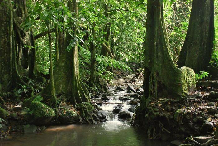Banyan Tree Jungle, Island Of Moorea, French Polynesia.