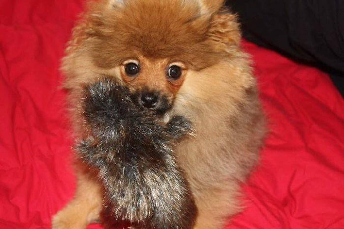 Pom Puppy Grows Up With Roadkill Toy