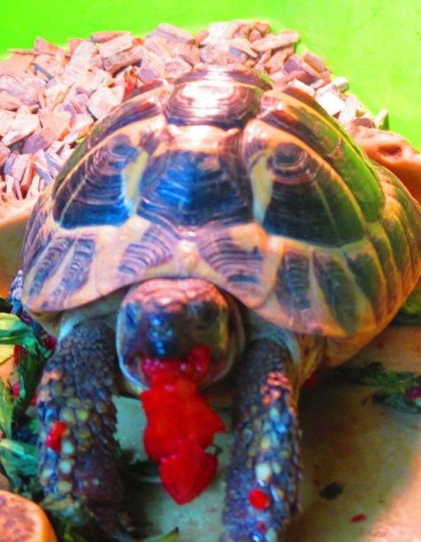 Tortoise Eating Strawberry