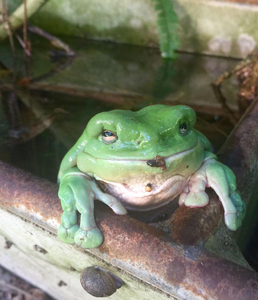 Grandad Green Tree Frog!