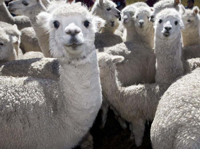Lamas!!!