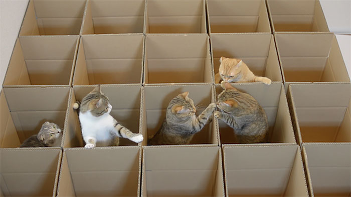 lucky-cats-enjoy-cardboard-maze-their-human-servant-made-for-them-3