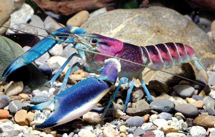 New 'Galaxy' Crayfish Discovered In Indonesia Has A Nebula On Its Shell