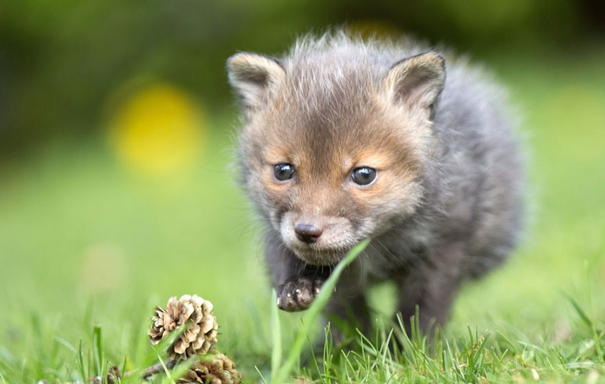 orphaned-fox-cub-adopted-dog-ziva-dinozzo-germany-10